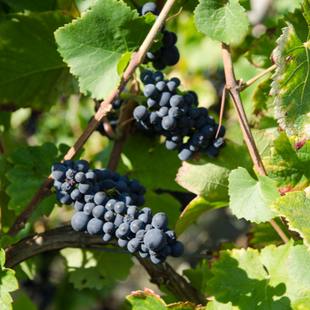 Côtes du Roussillon Tradition Rouge 2017 Domaine Piquemal