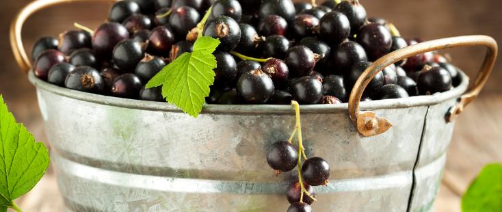 cueillette cassis noir de bourgogne