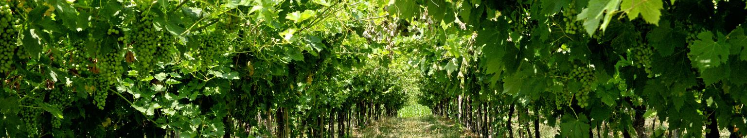 vignes_palissées_les_pierres_dorées
